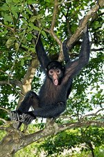 Red-faced black spider monkey