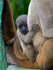 Gray woolly monkey baby