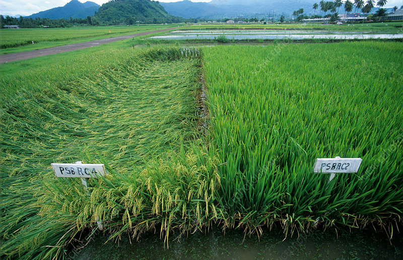 Short and normal rice plot comparison