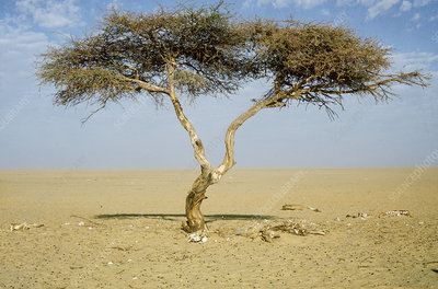 The Tree of Tenere (Acacia sp.), Niger