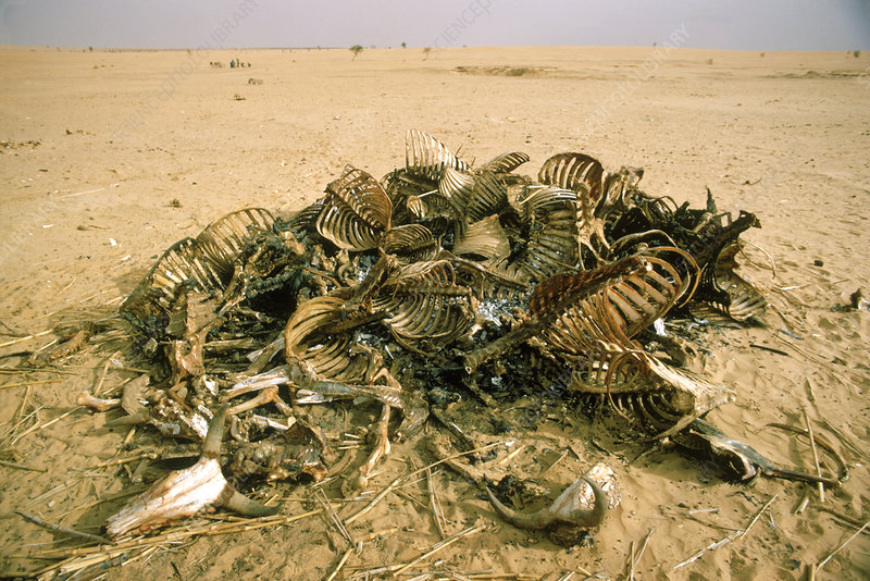 Cow carcasses in drought, Sahel, 1973