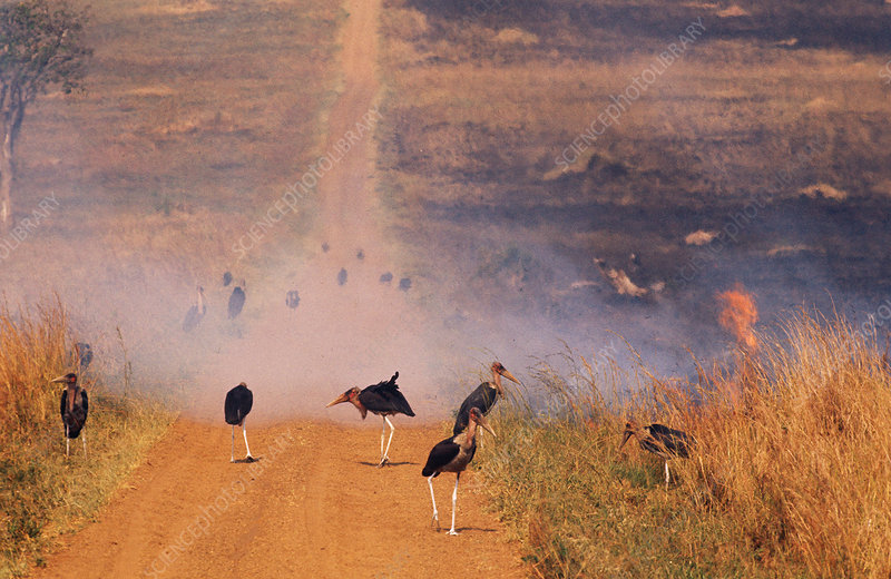 Marabou Storks at Fire