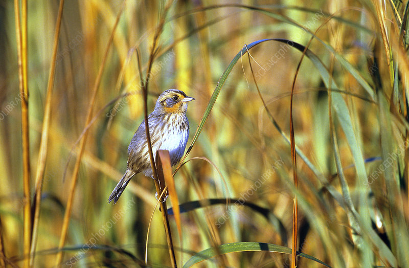Saltmarsh Sharp-tailed Sparrow