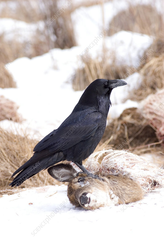Common Raven at Deer Carcass
