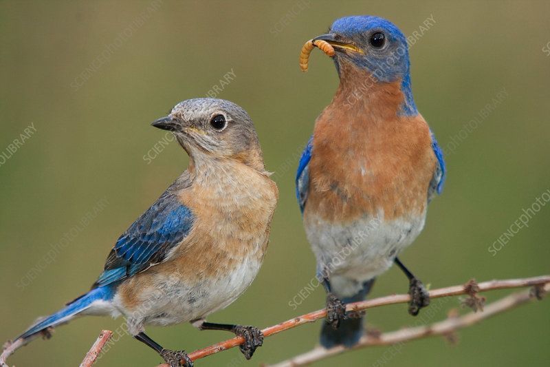 Eastern Bluebird Feeding Mate