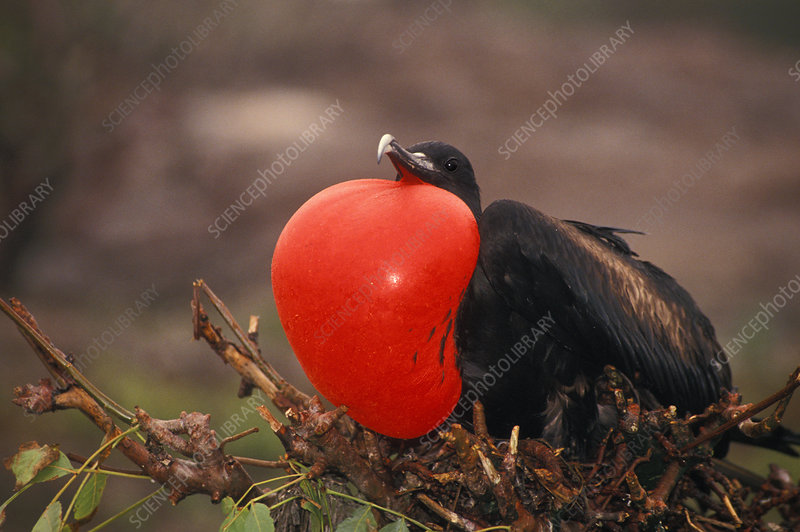 Great Frigatebird courtship display