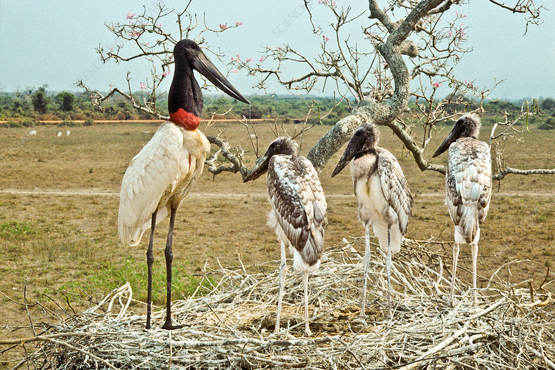 Jabiru with young at nest