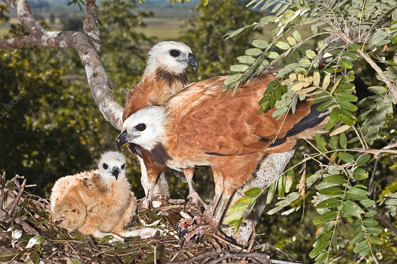 Black-collared Hawk pair at nest with you