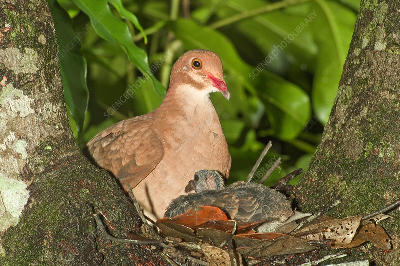 Ruddy Quail Dove on nest with young