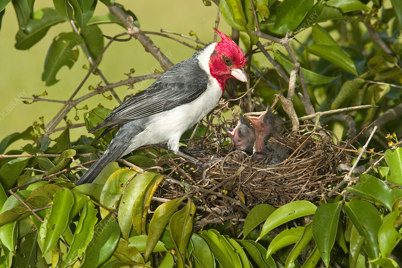 Red-crested Cardinal at nest with young