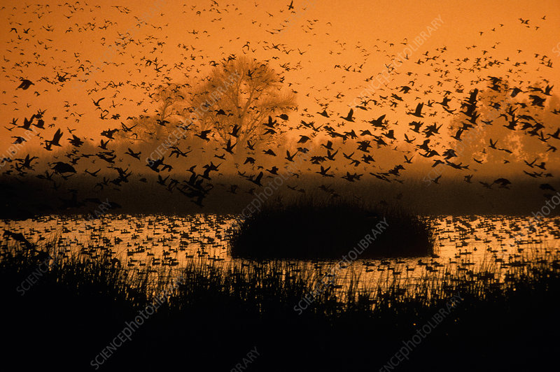 Waterfowl flying over pond