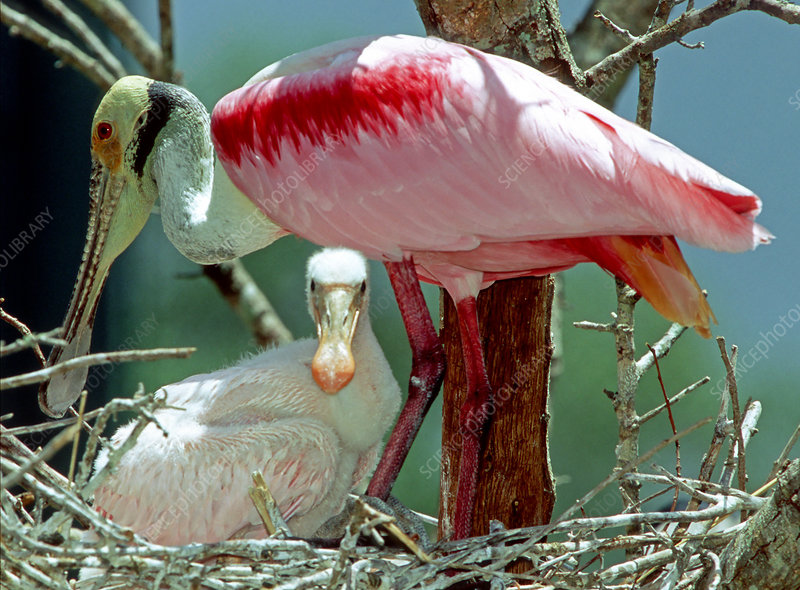 Roseate Spoonbill with young