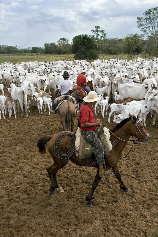 Brazilian cowboys herding cattle