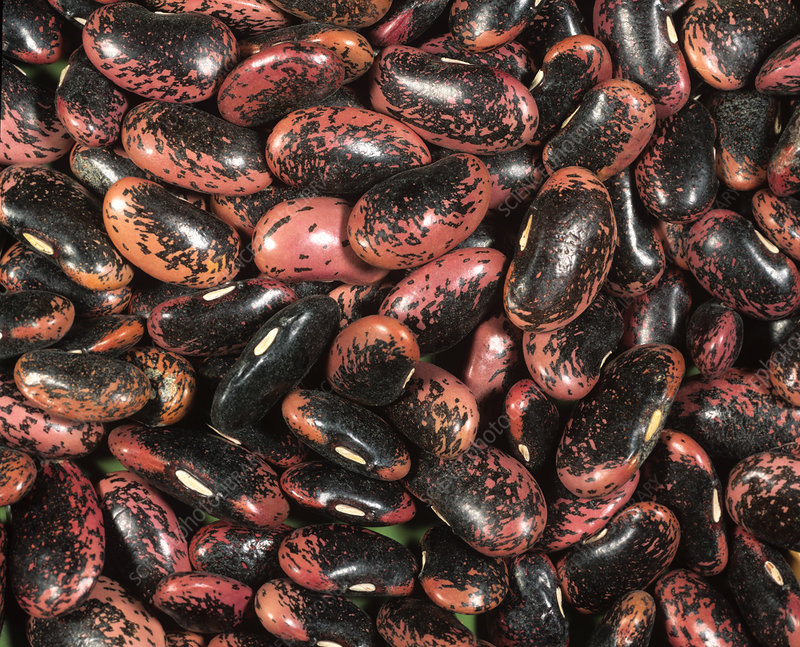 'Scarlet Emperor' beans (Phaseolus coccin