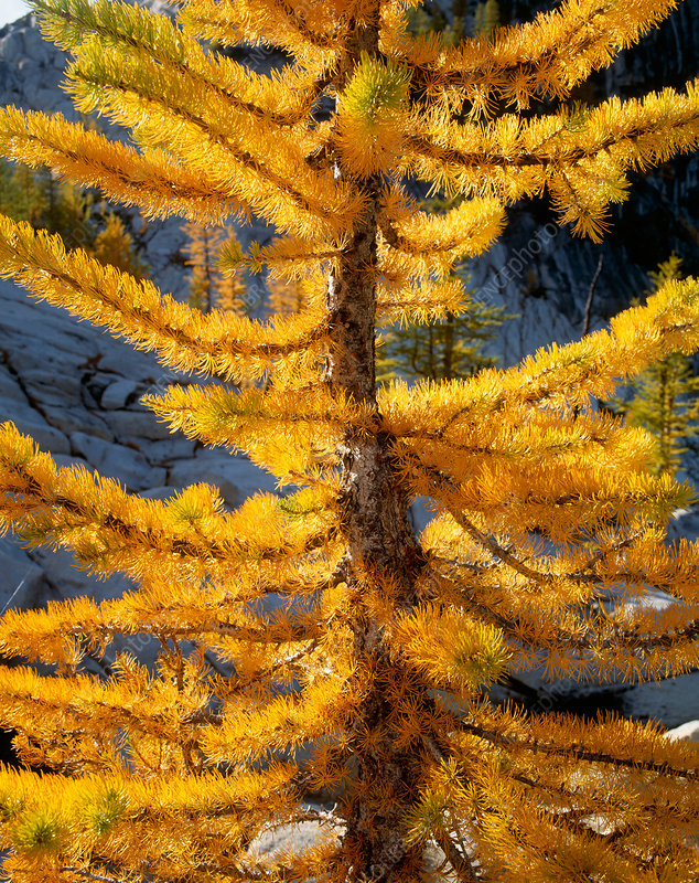 Weeping European Larch; Malus Red Jade