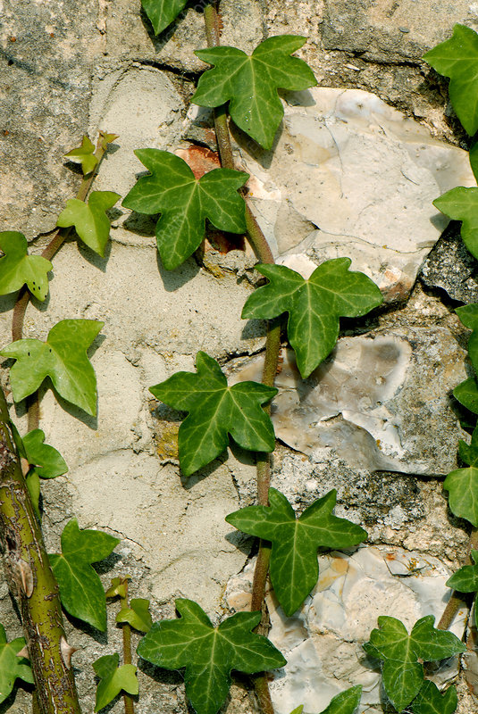 Ivy growing on stone barn wall