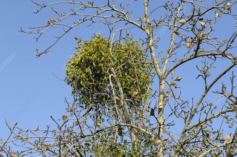 Mistletoe in old cider apple tree