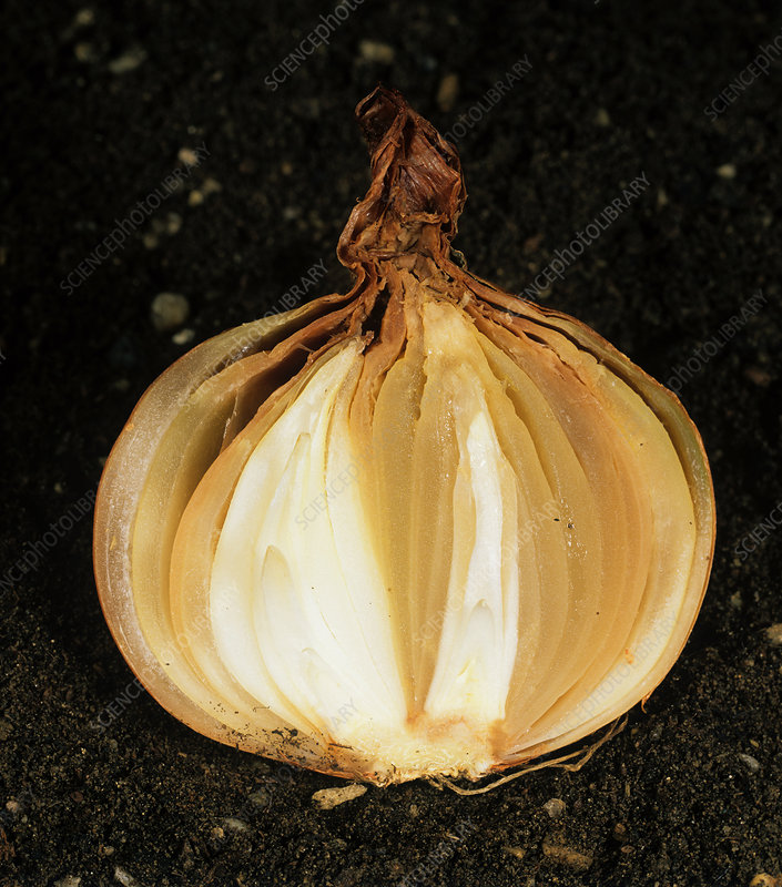 Neck rot (Botrytis allii) in onion