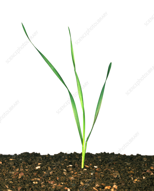 Seedling wheat plant