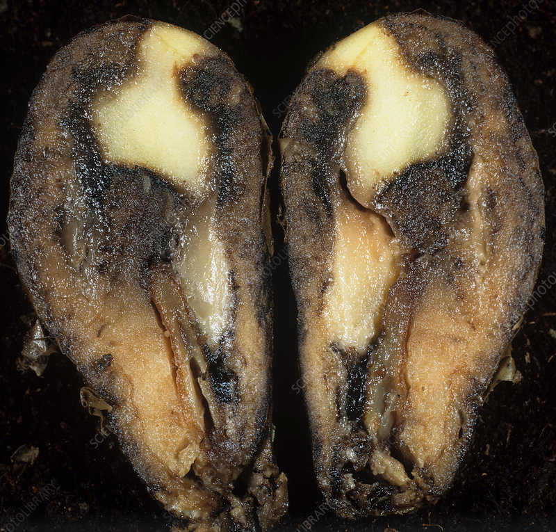 Watery wound rot in a potato