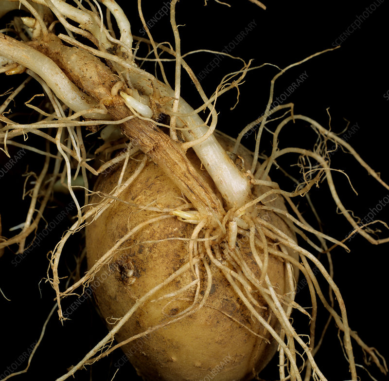 Symphylid damage to potato roots