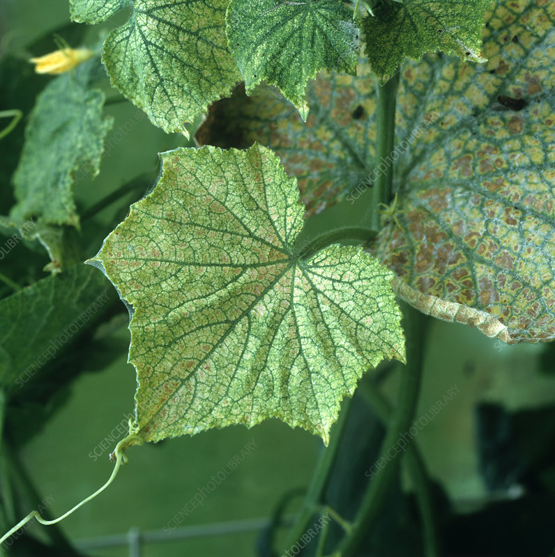 Two spotted spider mite