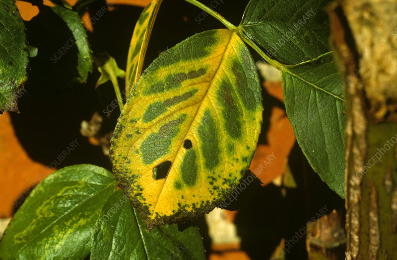 Magnesium deficiency in rose leaf