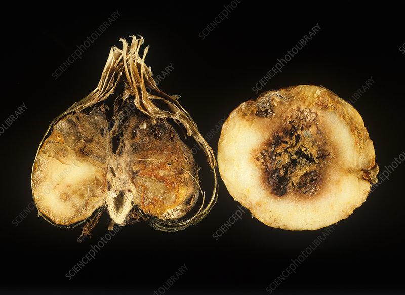 Basal rot damage to freesia corms