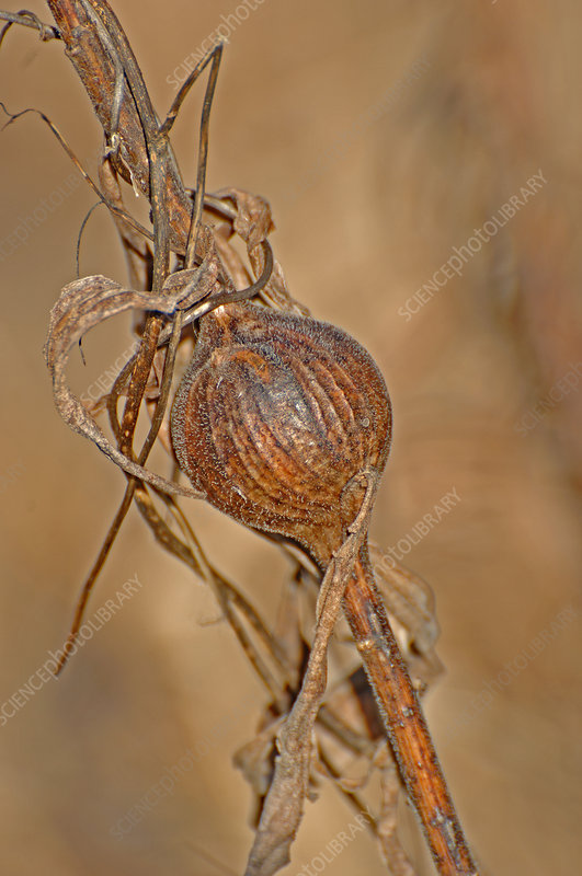 Goldenrod Gall