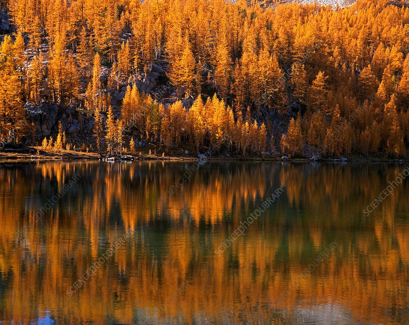 Larch Trees Reflected on Cooney Lake