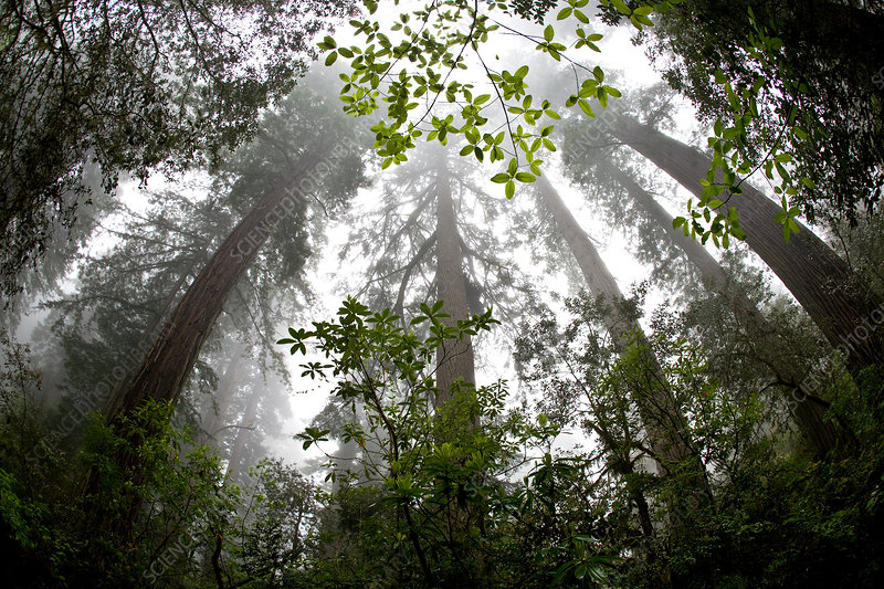 Foggy Coast Redwood Forest