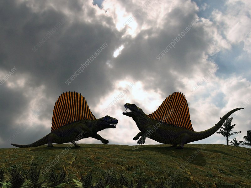 Dimetrodon fighting, artwork