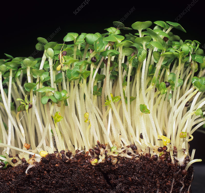 Germinating mustard seedlings