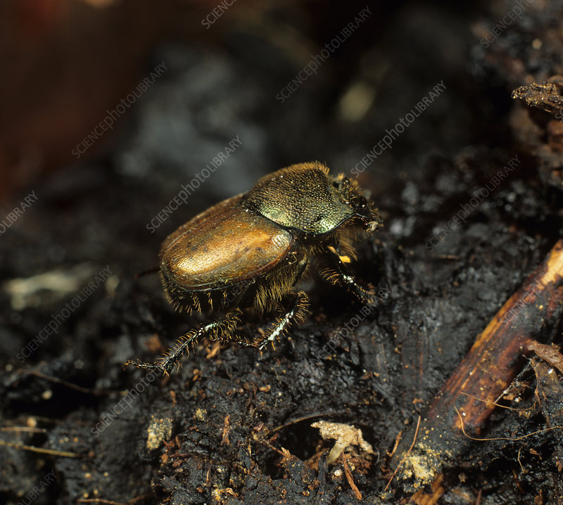Dung Beetle on dung