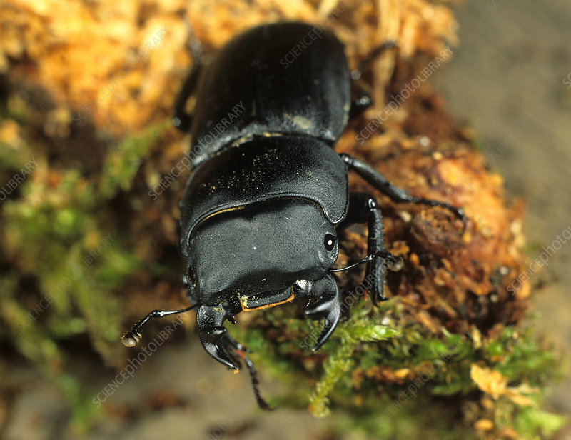Lesser stag beetle on rotten wood