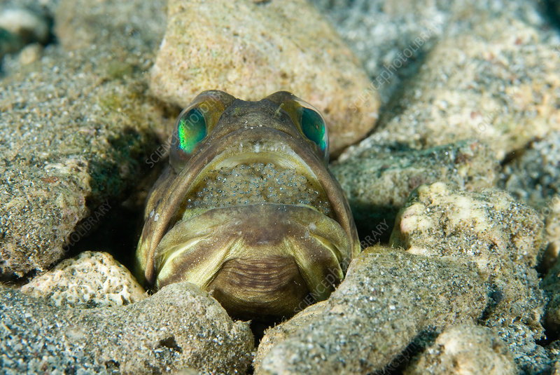 Banded Jawfish incubating eggs in mouth
