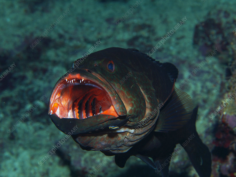 Tiger Grouper Being Cleaned By Goby