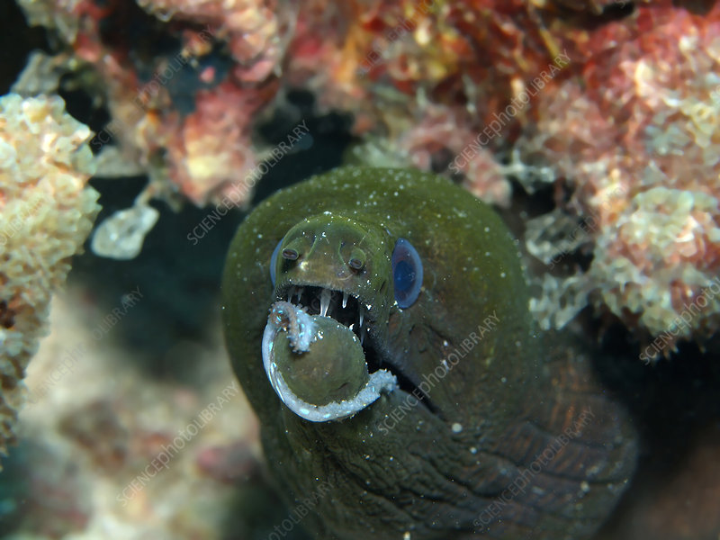 Green Moray Eel With Octopus Tentacle