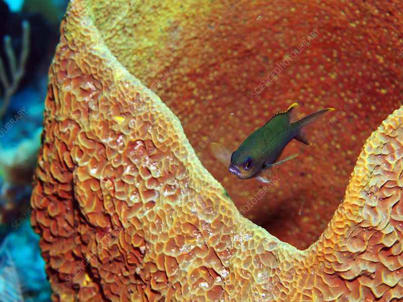 Brown Chromis