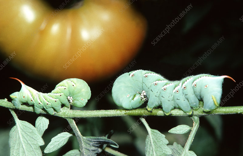 Tobacco Hornworms on Tomato Plant