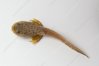 American bullfrog tadpole with hind legs