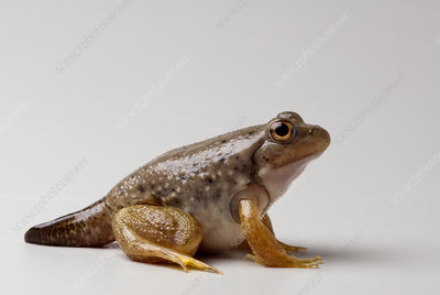 American bullfrog with partial tail