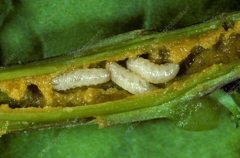 Cabbage stem weevil larvae