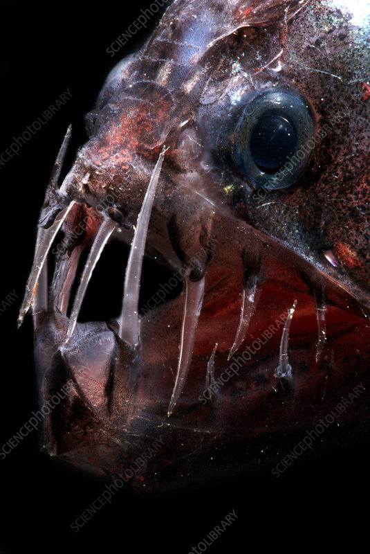 Pacific Viperfish