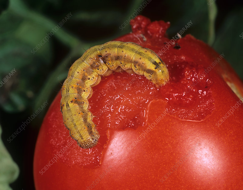 Tomato Fruitworm