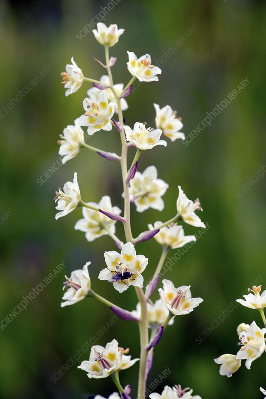 Death Camas (Anticlea elegans)