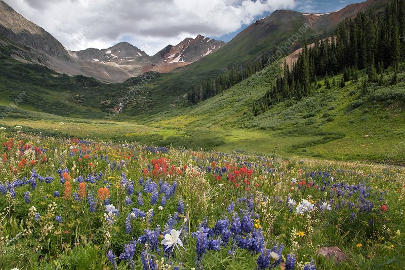Alpine flowers in Rustler's Gulch, USA