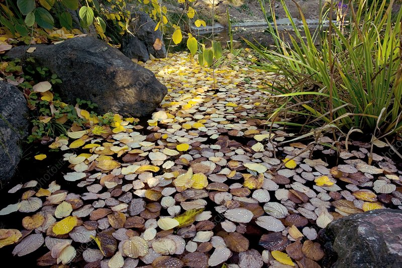 Fallen autumn leaves on pond