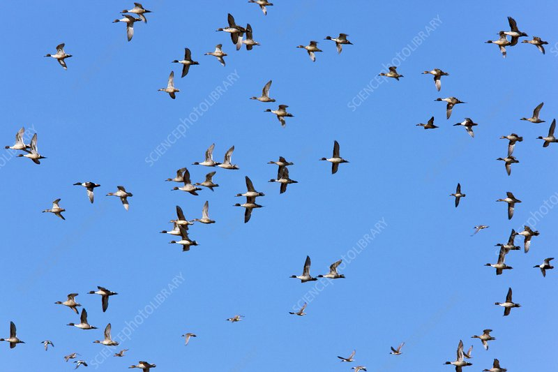 Flock of Northern Pintail ducks