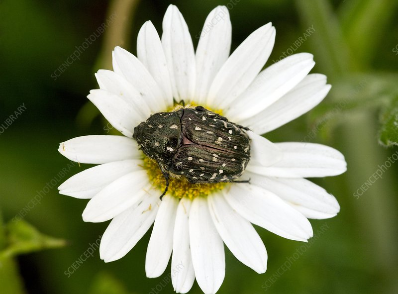 Chafer beetle on Ox-eye Daisy
